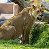 AFRICAN LION<br /> 22 MONTH OLD FEMALE