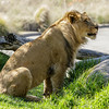 AFRICAN LION<br /> 22 MONTH OLD MALE, ERNEST