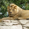 AFRICAN LION CUB<br /> 1½ YR OLD MALE <br /> ERNEST