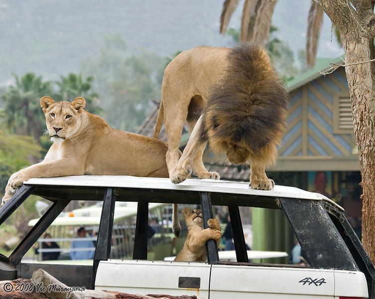 San Diego Zoo Safari Park S Lion Camp Vtm