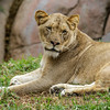 AFRICAN LION CUB<br /> 1½ YR OLD FEMALE