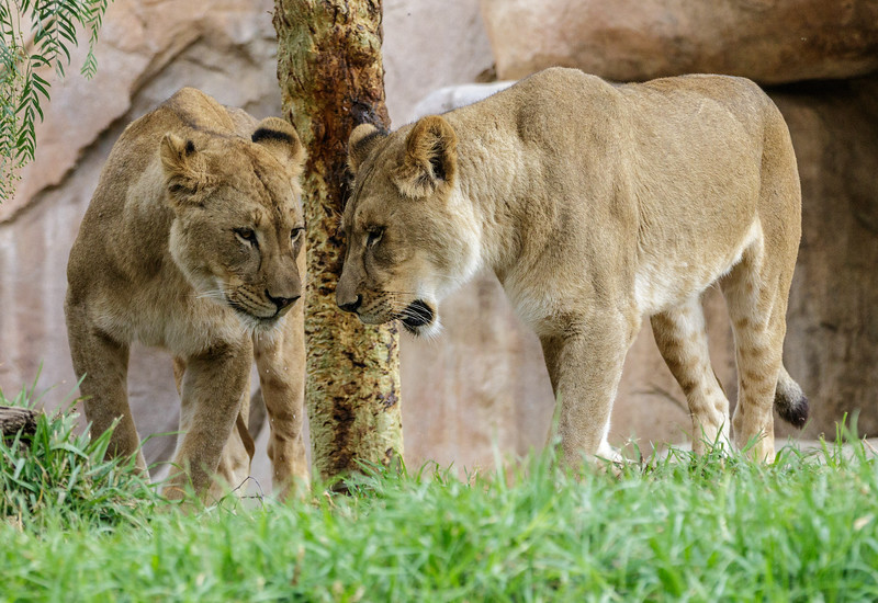 AFRICAN LION CUB<br /> 1½ YR OLD FEMALES