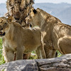 FEMALE AFRICAN LION CUBS