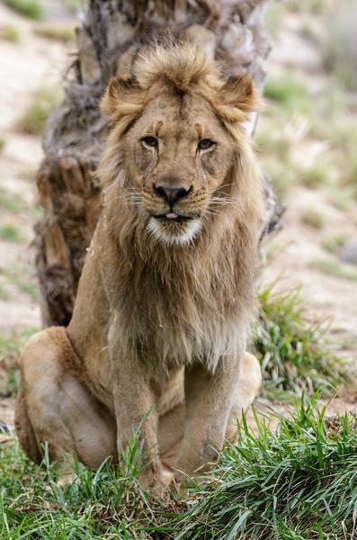 AFRICAN LION CUB<br /> 1½ YR OLD MALE <br /> ERNEST