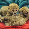 CHEETAH CUBS BORN 11/19/2016