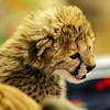 SOUTH AFRICAN CHEETAH CUB<br /> One of 2 famales born on 11/19/2016.
