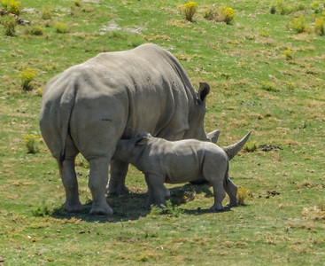 SOUTHERN WHITE RHINOCEROS HOLLY NURSING MASAMBA
