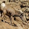 FEMALE DESERT BIGHORN SHEEP