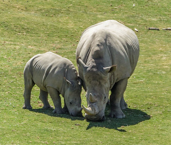 SOUTHERN WHITE RHINOCEROS KIANGA AND KACY
