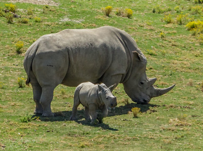 SOUTHERN WHITE RHINOCEROS HOLLY AND MASAMBA