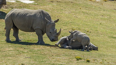 SOUTHERN WHITE RHINOCEROS ADULT WATCHING MASAMBA PLAYING WITH KIANGA