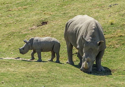 SOUTHERN WHITE RHINOCEROS MASAMBA AND HOLLY