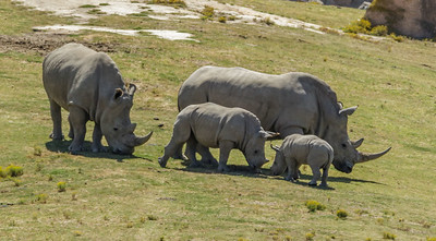 SOUTHERN WHITE RHINOCEROS KACY AND SON KIANGA, HOLLY AND DAUGHTER MASAMBA