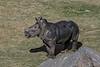 Kayode, newest Southern White Rhinoceros