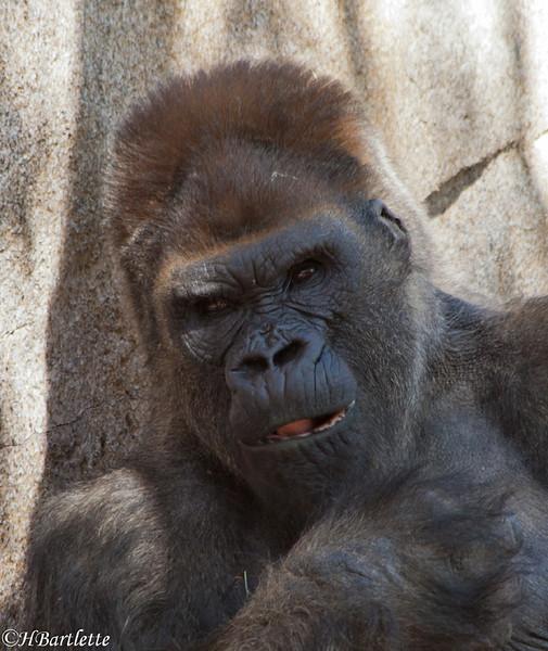 Winston, male gorilla San diego Safari Park