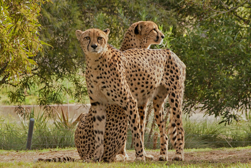 Cheetas, San Diego Safari Park