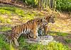Tiger cubs Moka and Rakan