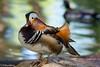 Mandarin Duck. San Diego Safari Park