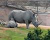 Newest Southern White Rhino