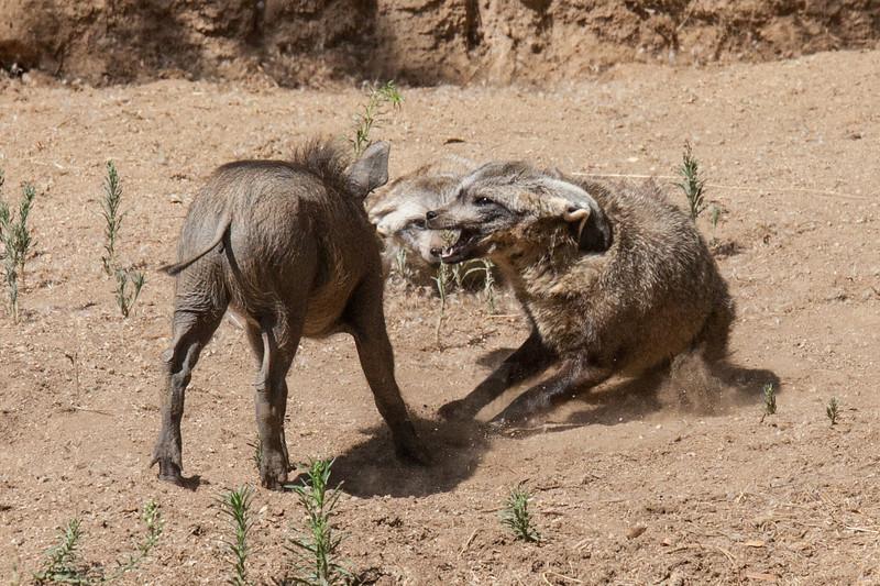 Bat Eared Fox chasing Wart Hog Piglet
