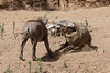 Bat Eared Fox chasing Wart Hog Piglet