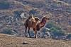 Dromadary Camel San Diego Safari Park