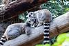 Lemur grooming