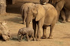 Newest baby elephant at San Diego Safari Park