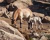 Przewalski's foal