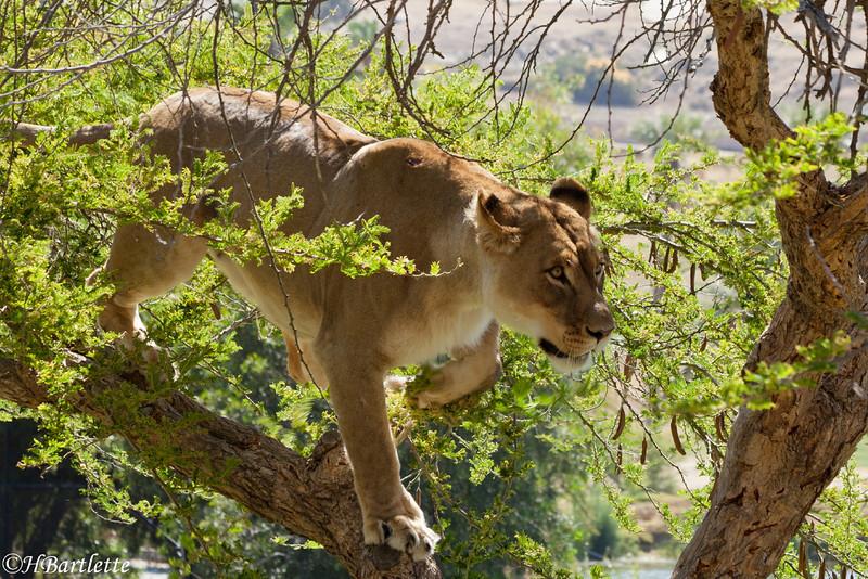 Lions don't climb trees