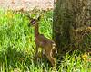 Gerenuk San Diego Safari Park