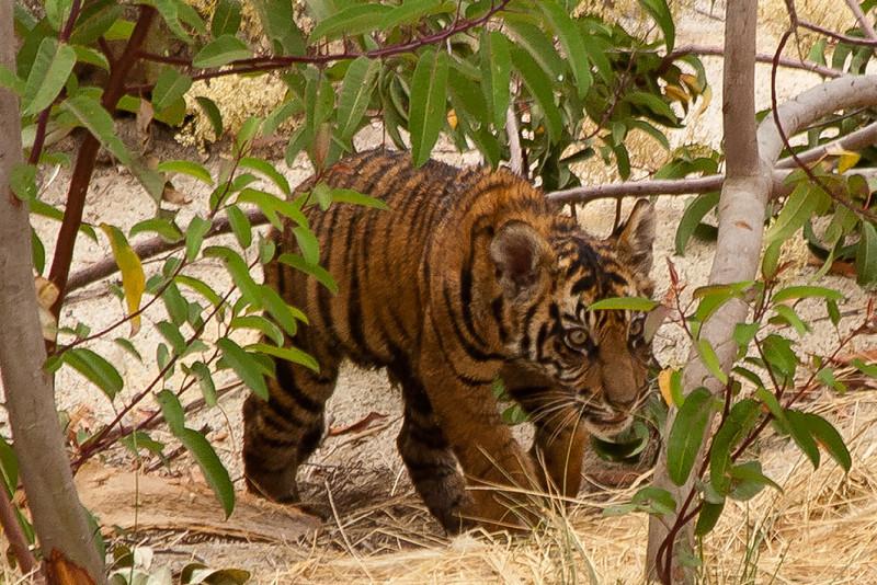 Conrad a new cub at the Safari Park