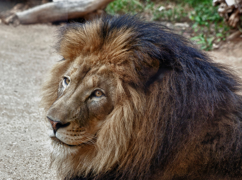 Izu male lion, it's almost time for my nap