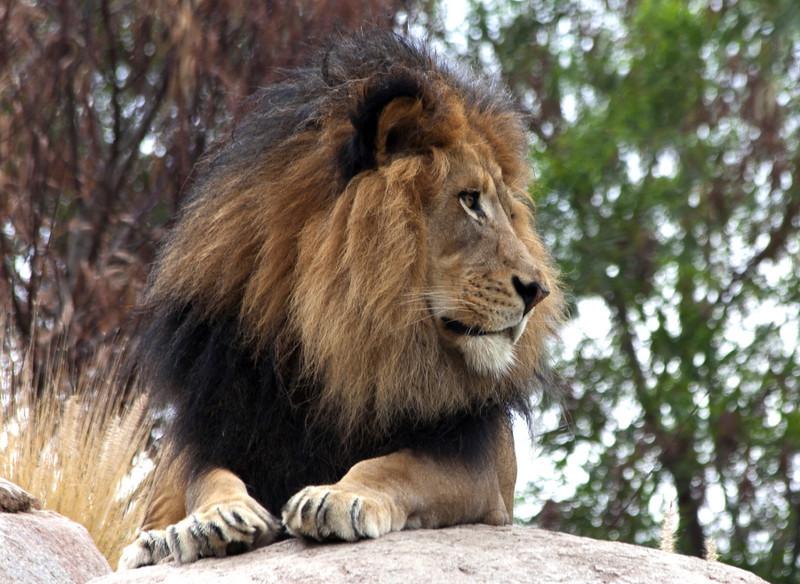 Izu, male lion, San Diego Safari Park