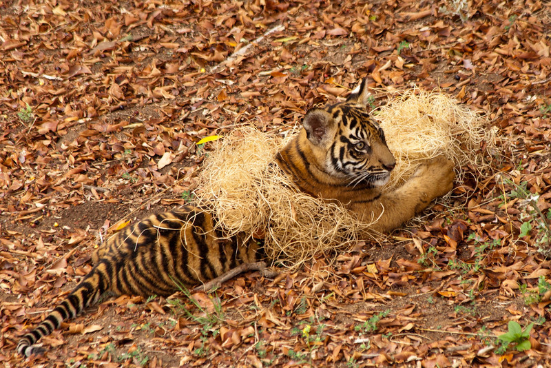 New tiger cub a the San Diego Safari Park