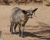 Bateared Fox