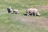 San Diego Zoo Safari Park, Southern White Rhino