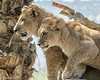 Lion cubs Ken and Dixie