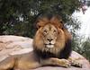 Izu the Lion, surveying the crowd