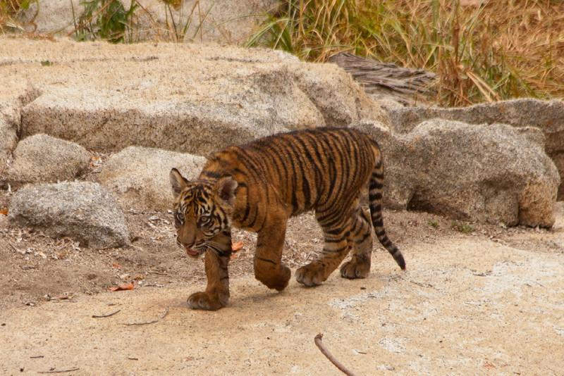 Thomas a new cub at the Safari Park