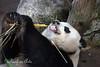 """Giant Panda, """"Gao Gao"""""""
