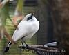 Cute little bird!  (Bali Mynah)