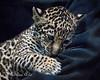 "Baby Jaguar, ""Valerio"", about 7 weeks."