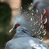 Love these feathers!  (Victoria Crowned Pigeon)