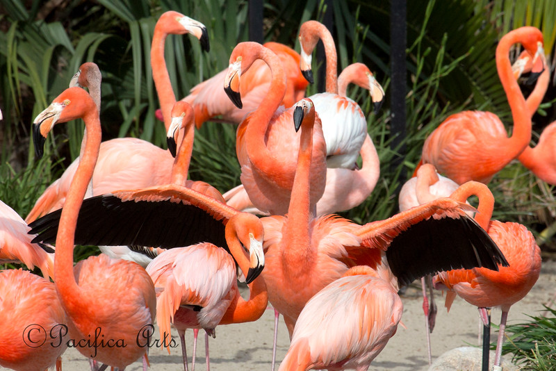 A flock of Caribbean Flamingos