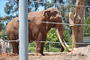 Look at these tusks!  Wow!  (By the size of the ears, this must be an Asian Elephant)