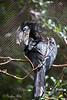 Black Casqued Hornbill