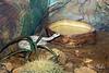 Santa Catalina Island Rattlesnake