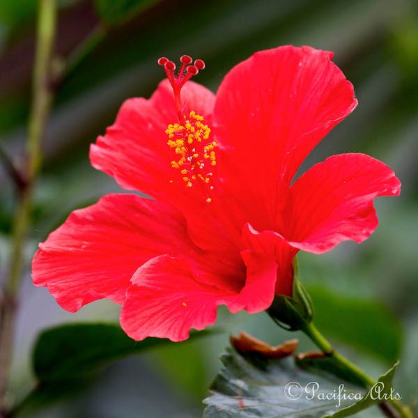 Here's a Hibiscus Flower I saw a the San Diego Zoo.