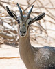 Look at this face!  (Speke's Gazelle)
